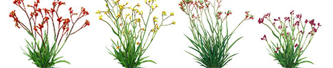 Velvet Kangaroo Paws 3D Graphics Preview Image