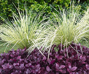 Landscape plants to die for - little ruby variegated tanika