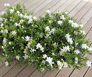 O So Fine Gardenia