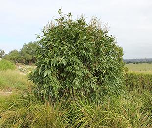 LEMON SQUASH™ Corymbia citriodora 'COR81' PBR intended
