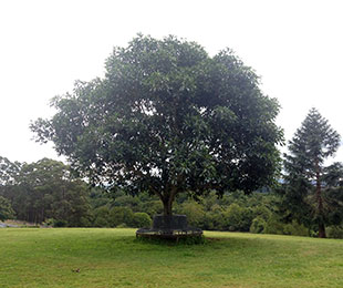 PODIUM™ Ficus brachypoda 'BWNPOD' PBR