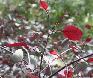 VINTAGE RED™ Eucalyptus is a landscape tree with red foliage