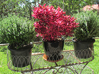 Emporium Range and Hotties Range BRAZILIAN RED HOTS™ Alternanthera dentata 'BRAZILIAN RED' PBR