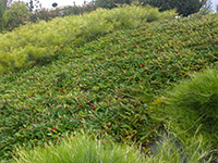 Emporium Range and Hotties Range Down Under™ Grevillea laurifolia 'TWD02' PBR