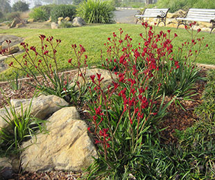 Everlasting Red™ Kangaroo Paw
