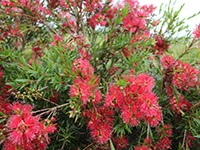 Emporium Range and Hotties Range FLORA BURST™ Callistemon viminalis 'CC06' PBR
