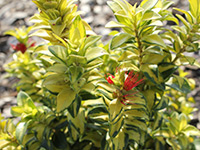 Emporium Range and Hotties Range LEMON TWIST Metrosideros excelsa 'LEMON TWIST' PBR
