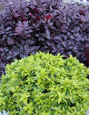 Little Gold™ Abelia is excellent as a contrast plant