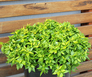 Little Gold™ Abelia