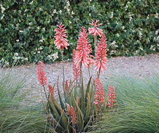 Mighty Coral™ Aloe is a tough, semi-compact plant with cream and orange flowers