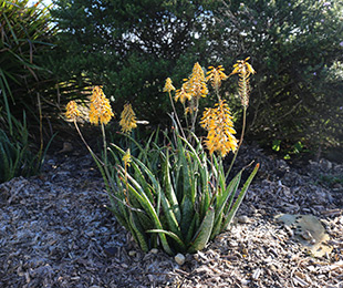 Mighty Gold™ Aloe is a tough, compact plant with gold flowers