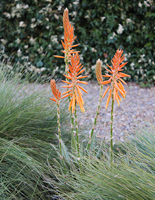 Mighty Orange™ Aloe is a tough, mid-sized variety with orange flowers