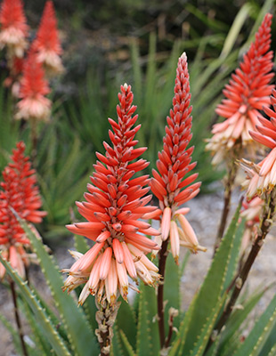 Mighty Sunset™ Aloe