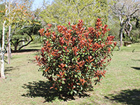 Emporium Range and Hotties Range Red Fence™ Photinia x fraseri 'CP01' PBR Intended