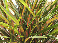Emporium Range and Hotties Range RUBY GREEN™ Dianella caerulea