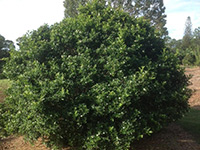 Emporium Range and Hotties Range Sweet Privacy™ Murraya paniculata 'MP01' PBR
