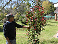 Emporium Range and Hotties Range Thin Red™ Photinia x fraseri 'NP01' PBR Intended