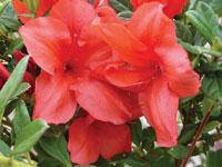 AUTUMN BRAVO™ Rhododendron hybrid 'CONLEN' PBR