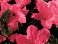AUTUMN CHEER™ Rhododendron hybrid 'CONLEF' PBR
