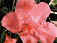 AUTUMN CORAL™ Rhododendron hybrid 'CONLED' PBR