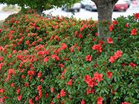AUTUMN ROYALTY™ Rhododendron hybrid 'CONLEC' PBR