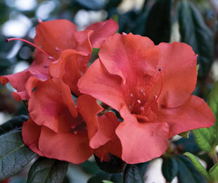AUTUMN EMBERS™ flower