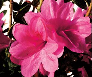AUTUMN EMPRESS™ flower