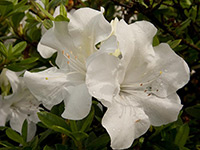AUTUMN IVORY™ Rhododendron hybrid 'ROBLEV' PBR