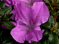 AUTUMN LILAC™ Rhododendron hybrid
