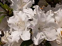 AUTUMN LILY™ Rhododendron hybrid 'ROBLEX' PBR