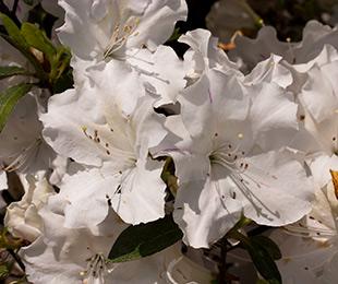 Autumn Lily™ Azalea