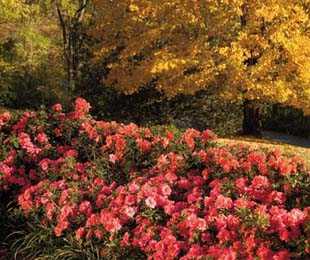AUTUMN MONARCH™ azalea