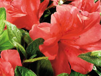 AUTUMN MONARCH™ Rhododendron hybrid 'CONLEO' PBR
