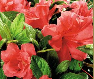AUTUMN MONARCH™ flowers