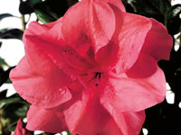 AUTUMN PRINCESS™ Rhododendron hybrid 'ROBLEA' PBR