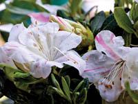 AUTUMN STARLITE™ Rhododendron hybrid