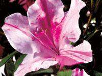 AUTUMN TWIST™ Rhododendron hybrid 'CONLEP' PBR