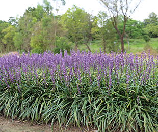 AMETHYST™ Liriope is a compact plant with deep purple ...