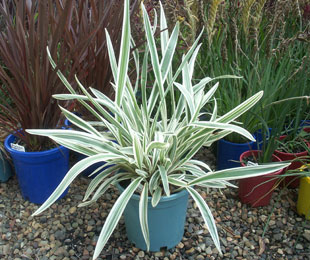 DESTINY® Dianella is perfect for mass plantings, accent gardens and patio pots