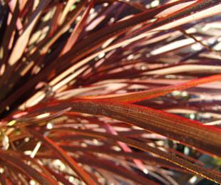 FLAMIN'® Phormium boasts red, orange and bronze tones