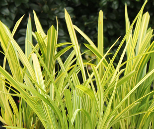 Gold Mine™ Dianella is perfect for modern landscapes