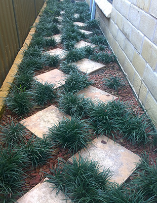 ISABELLA® Liriope is great between pavers