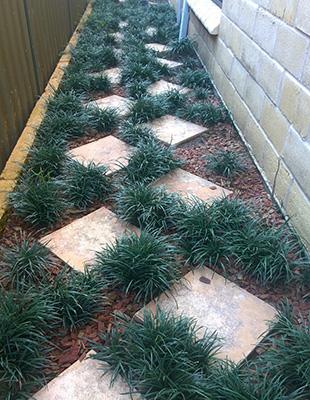ISABELLA® Liriope is great between pavers