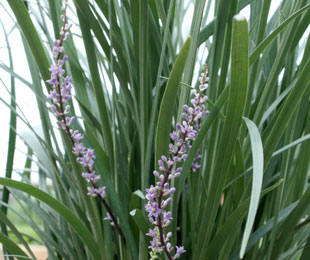 JUST RIGHT® Liriope muscari 'LIRJ' PBR