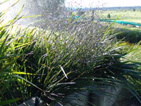 Emporium Range and Hotties Range PRESTIGE® Dianella is a clumping fine leaf plant with masses of blue flowers
