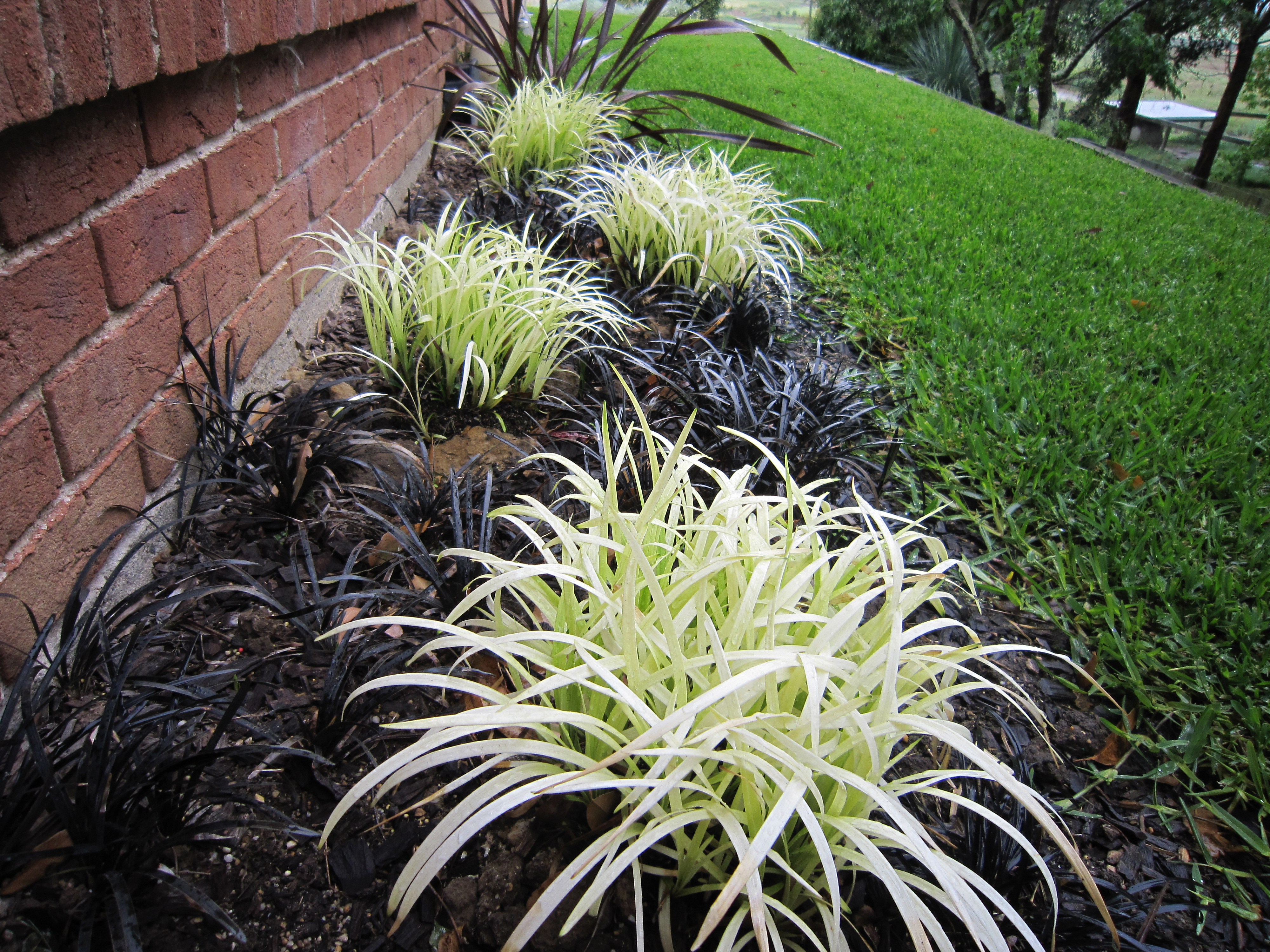 Pure Blonde Is A Contrast Groundcover Liriope