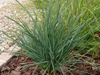 SAVANNA BLUE™ Lomandra filiformis'LMF500' PBR