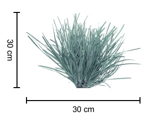 SAVANNA BLUE™ Lomandra dimensions