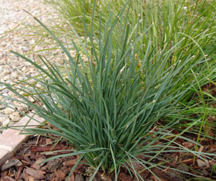 SAVANNA BLUE™ Lomandra filiformis 'LMF500' PBR