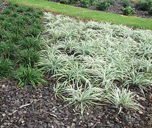 Silverlawn Liriope Is A Low Growing Contrast Plant With Clean